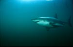 Great White Shark searching for South-African Fur Seals