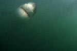 Great White Shark frontal in greenish water