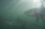 Two Great White sharks