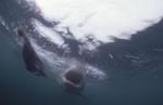 Great White shark with open mouth underwater