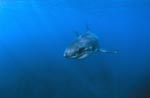 Baby Great White Shark in the blue waters of the South Atlantic