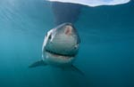Great White Shark with injuries at the snout