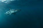 The body of the Great White Shark is hydrodynamically perfect
