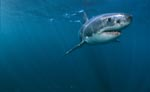 Great White Shark - a beautiful animal