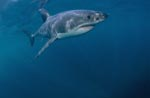Lord of Sea: Great White Shark