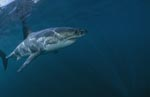 Great White shark - a facinating animal