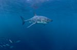 Great White Shark followed by small fish