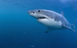 Fascination Great White Shark (Carcharodon carcharias)