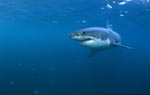 Great White shark - a beautiful and facinating animal