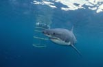 Great White Shark on the shark cage