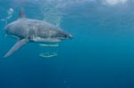Great White Shark and Shark cage