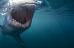 Great White shark- a seal´s eye view