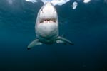 Great White shark a powerful fish