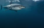 The Great White Shark is the world's largest predatory fish