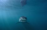 "Baby Great White Shark - its ""smile"" is unmistakable"