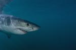 Young Great White Shark portrait