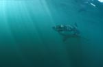 Great White Shark is on top of the food chain