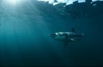Sun rays illuminate the path of a great white shark