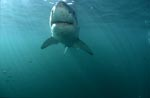 Great White Shark in greenish water
