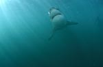 Ascending Great White Shark (Carcharodon carcharias)