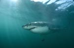 Impressive top predator Great White Shark
