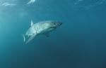 Great White shark a facinating animal
