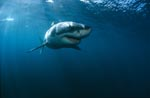 Great White Shark - an elegant predator