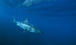 <b>Great White Shark, discovering an interesting object</b>