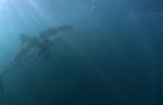<b>Great White Shark – one of the sea's most impressive predators</b>