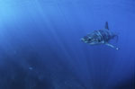 Young Great White Shark in a fascinating light