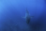 Baby Great White Shark wee disguised above the bottom of the sea