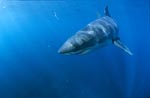 Young Great White Shark (Carcharodon carcharias)