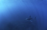 Young Great White Shark in the vast ocean