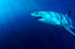 Great White Shark, impressive and unmistakeable