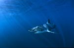 Dynamic Great White Shark in the deep blue sea