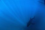 Baby Great White Shark in the center of the incident sun rays