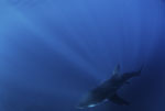 Sunbeams reach the baby white shark