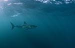 Mysterious: the Great White Shark