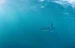 Great White Shark passing carefully