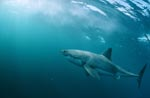 Great White Shark - successful predator