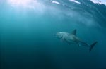 Great White Shark swimming towards the light