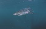 Great White shark - a powerful fish