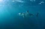 Great White Shark near the seal conoly of Geyser Rock