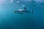 Great White Shark looking for fat prey</b>