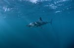 Great White Shark - a beautiful animal and facinating animal