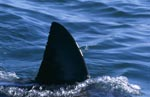 Dorsal fin of the Great White Shark off Seal Island