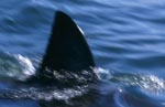 Dorsal fin Great White Shark - sleek and unmistakeable