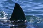 Iimpressive: The dorsal fin of the great white shark