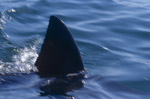 Dorsal fin Great White Shark near Seal Island