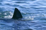 Great White Shark Dorsal Fin on the water surface